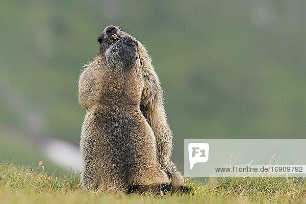 Marmots (Marmota marmota) in the Alps  Streit  Hohe Tauern National Park  Austria  Europe