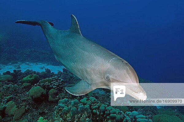 Bottlenose dolphin (Tursiops truncatus)  subtropical and tropical seas  Mediterranean Sea