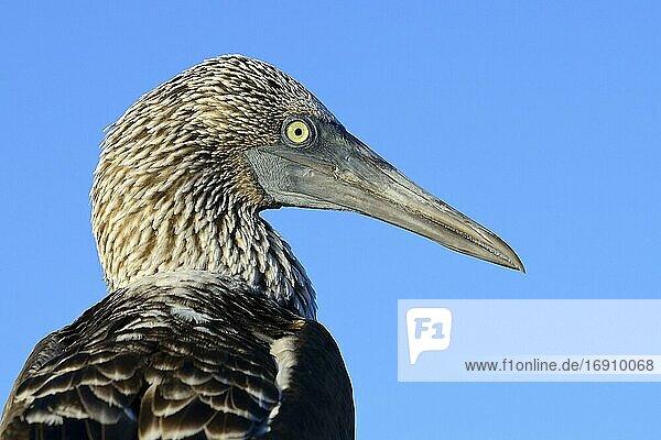 Blaufußtölpel (Sula nebouxii)  Portrait  Insel Isabela  Galapagos  Ecuador  Südamerika