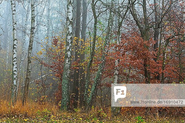Autumnal deciduous forest in Mala Fatra national park  Slovakia.