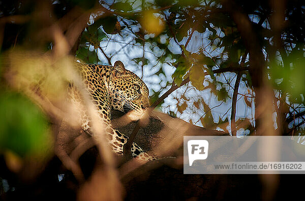 Leopard (Panthera pardus) im Baum liegend  South Luangwa Nationalpark  Mfuwe  Sambia  Afrika |Leopard (Panthera pardus) laying in a tree  South Luangwa National Park  Mfuwe  Zambia  Africa|