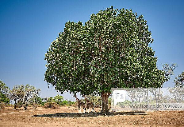 Thornicroft-Giraffen unter einem riesigen Leberwurstbaum (Giraffa camelopardalis thornicrofti) (Kigelia africana)  South Luangwa Nationalpark  Mfuwe  Sambia  Afrika  Thornicroft's giraffe or Rhodesian giraffe under huge Kigelia africana (Giraffa camelopardalis thornicrofti) (Kigelia africana)  South Luangwa National Park  Mfuwe  Zambia  Africa 