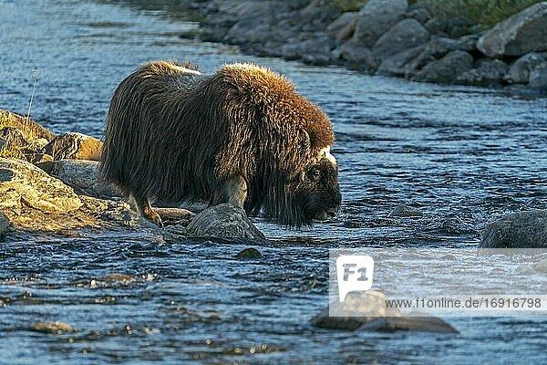 Moschusochse (Ovibos moschatus)  geht durch einen Fluss in der Tundra im Dovrefjell Nationalpark  Norwegen  Europa