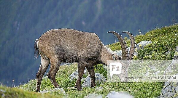 Alpensteinbock (Capra ibex)  grasend  Mont-Blanc-Massiv  Chamonix  Frankreich  Europa