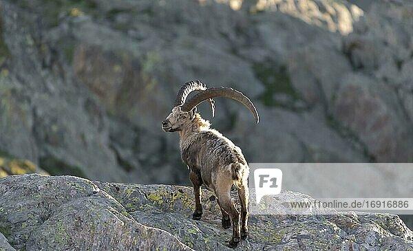 Alpensteinbock (Capra ibex) im Fellwechsel  steht auf Fels  Mont-Blanc-Massiv  Chamonix  Frankreich  Europa