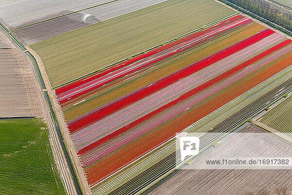 Tulip fields  North Holland  Netherlands