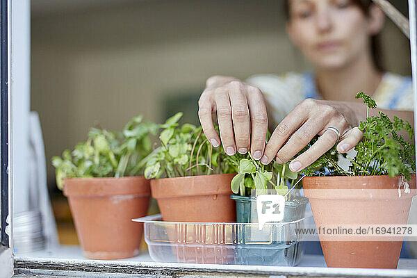 Frau pflückt selbstgezogene Kräuter  die auf der Fensterbank wachsen