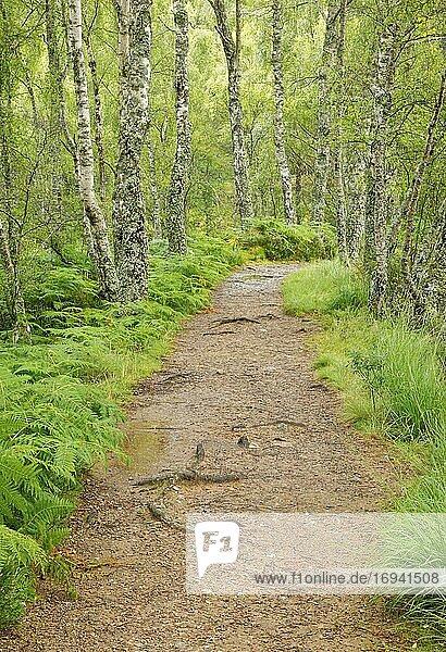 Fußweg im Birkenwald  Craigellachie National Nature Reserve  Schottland  Großbritannien  Europa