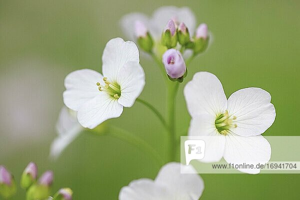 Wiesen-Schaumkraut (Cardamine pratensis)  cuckoo flower  Schweiz  Europa