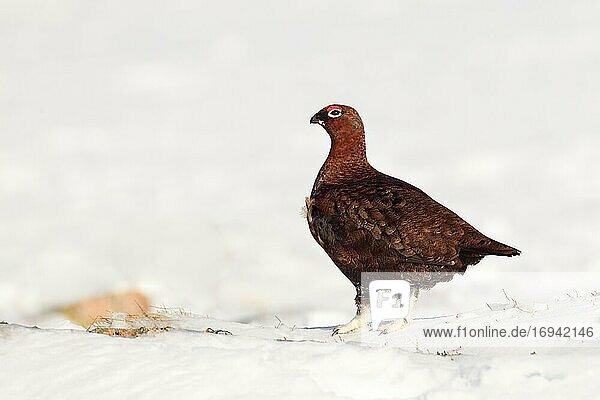 Moorschneehuhn  Schottische Moorschneehuhn (Lagopus lagopus scoticus)  Red Grouse  Cairngorms NP  Schottland  Großbritannien  Europa
