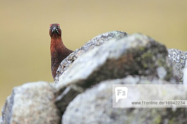 Red Grouse  Schottisches Moorschneehuhn (Lagopus lagopus scoticus)  Scotland