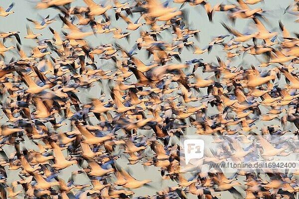 Schneegans (Anser caerulescens)  Snow goose  Masse im Flug  viele fliegen  Winterquartier  Bosque del Apache National Wildlife Refuge  New Mexico  USA  Nordamerika