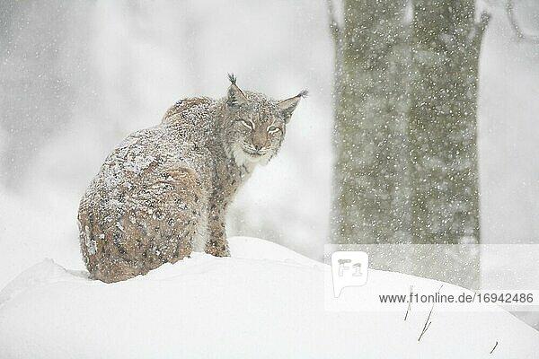 Europäischer Luchs (Lynx lynx)  im Winter  Nationalpark Bayrischer Wald  Deutschland  Europa