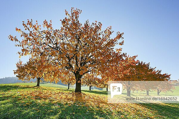 Kirschbäume im Herbst (Prunus avium)  Basel-Landschaft  Schweiz  Europa