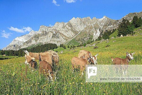 Ziegen auf der Alp  Alpsteinmassiv  Appenzell  Schweiz  Europa
