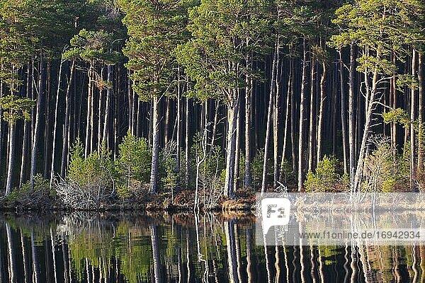 Kiefer  Schottische Kiefer  Scots pine (Pinus sylvestris)  Cairngorms NP  Schottland  Großbritannien  Europa