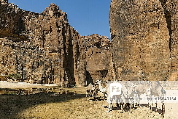Kamelherde  Wasserstelle Guelta d'Archei  Ennedi-Hochebene  Tschad  Afrika