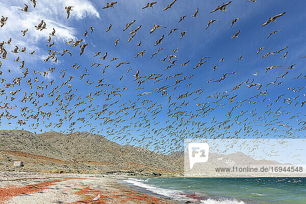 Kalifornienmöwen (Larus californicus) beim Fressen von Thunfischkrabben  Isla Magdalena  Baja California Sur  Mexiko  Nordamerika