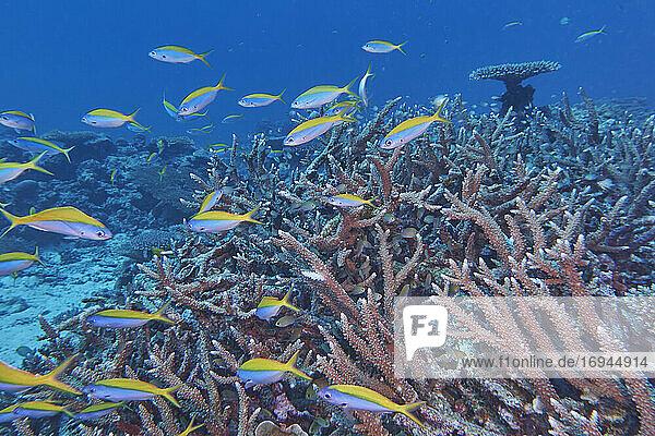 Ein Schwarm Gelbrücken-Füsiliere (Caesio teres) schwimmt um Acropora-Arten Hartkorallen  Gaafu Dhaalu Atoll  Malediven  Indischer Ozean  Asien