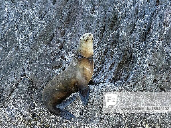 Kalifornischer Seelöwe (Zalophus californianus)  mit Fischernetz um seinen Hals  Isla San Pedro Martir  Baja California  Mexiko  Nordamerika