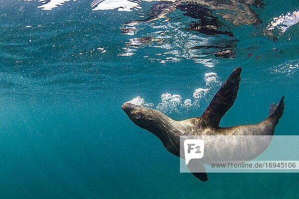 Kalifornischer Seelöwe (Zalophus californianus)  unter Wasser bei Los Islotes  Baja California Sur  Mexiko  Nordamerika