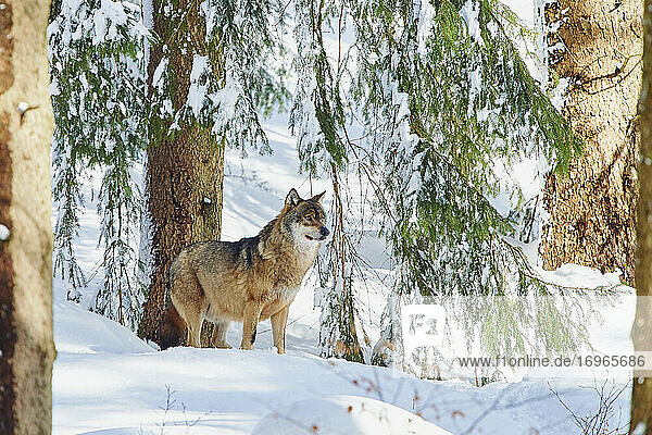Eurasian wolf (Canis lupus lupus) in a forest in winter  Bavarian Forest National Park  Bavaria  Germany  Europe