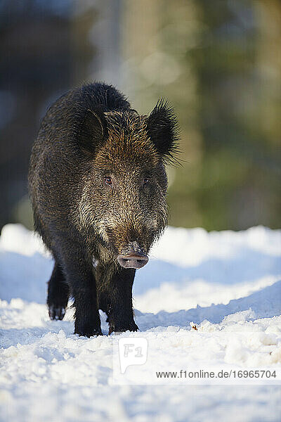 Wild boar (Sus scrofa) in a forest in winter  Bavarian Forest National Park  Bavaria  Germany  Europe