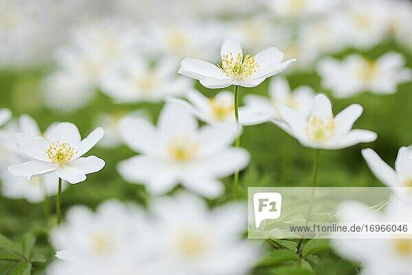 Buschwindröschen (Anemone nemorosa)  Wood anemone  Switzerland