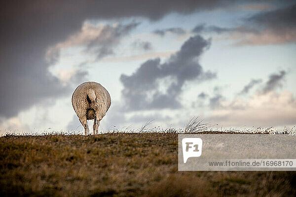 Abendstimmung auf dem Sylter Ellenbogen mit Schaf