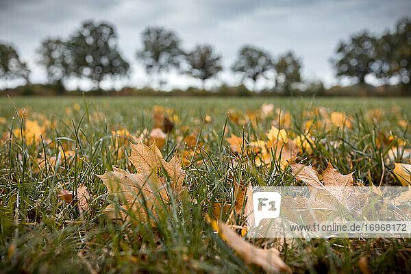 Herbstlich verfärbte Ahornblätter liegen auf einer Wiese in der Feldmark. An den Grashalmen hängen teilweise noch Tautropfen