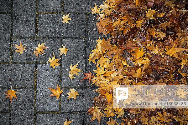 Regennasse  zu Boden gefallene  herbstlich gefärbte Ahornblätter