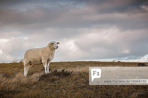 Einzelnes Schaf steht majetätisch in der kargen Landschaft auf dem Sylter Ellenbogen unter herbstlichem Abendhimmel