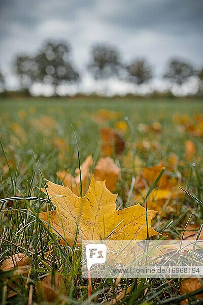 Herbstlich gefärbtes Ahornblatt liegt auf einer Wiese