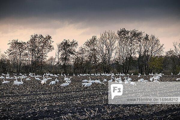 Hunderte Singschwäne (Cygnus cygnus) suchen Mitte November im Licht der untergehenden Sonne nach Nahrung auf einem abgeernteten Maisfeld bei Jahrdelund nahe der dänischen Grenze
