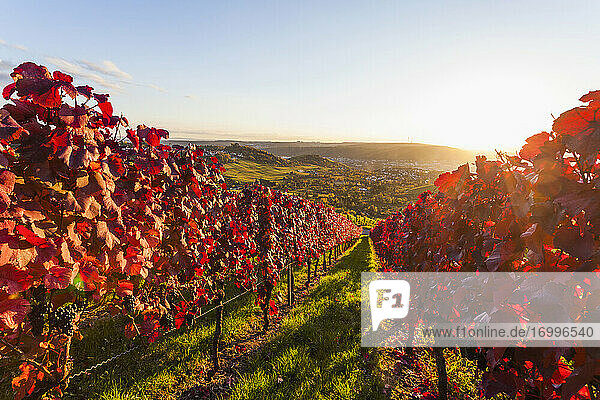 Sun setting over red autumn vineyard Sun setting over red autumn vineyard