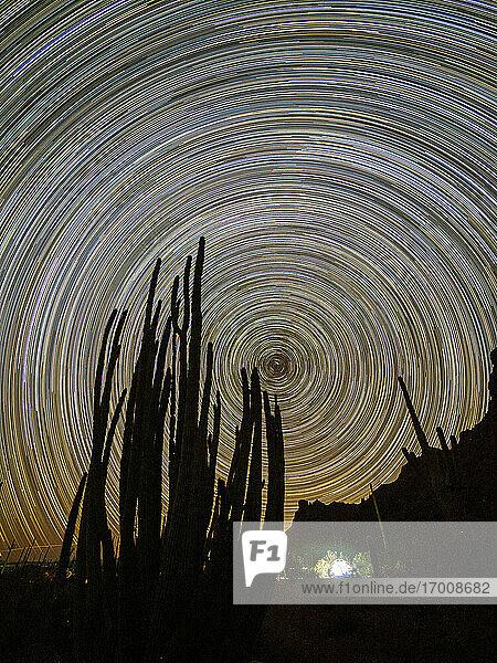 Orgelpfeifenkaktus (Stenocereus thurberi) bei Nacht  Organ Pipe Cactus National Monument  Sonoran Desert  Arizona  Vereinigte Staaten von Amerika  Nord Amerika