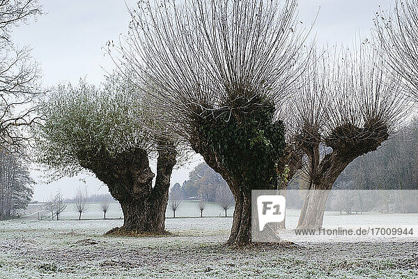 Pollarded willow trees in winter