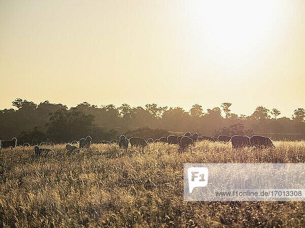 Australien  New South Wale  Kandos  Schafe grasen bei Sonnenuntergang