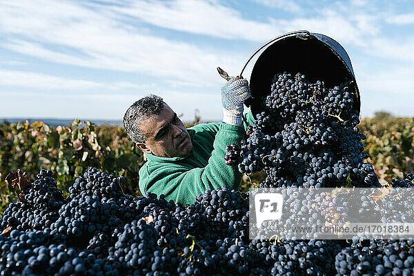 Mature male farmer pouring black grapes into trailer in vineyard Mature male farmer pouring black grapes into trailer in vineyard
