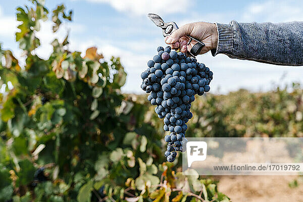 Male farmer's hand holding bunch of grapes and scissor in farm Male farmer's hand holding bunch of grapes and scissor in farm