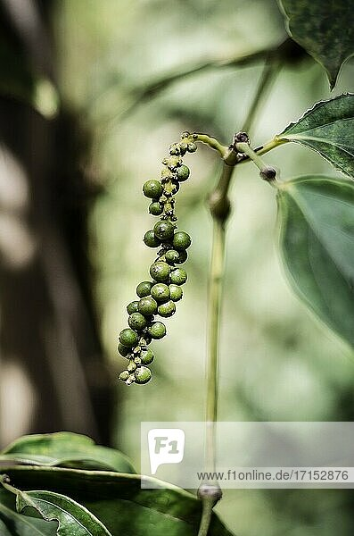 Organic peppercorn pods growing on pepper vine plant in kampot cambodia.