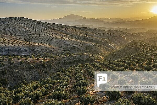 Cultivated olive trees (Olea europaea) at sunrise. Aerial view. Drone shot. C?rdoba province  Andalusia  Spain.