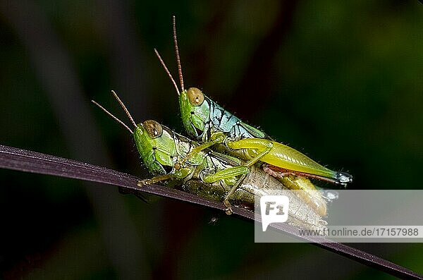 Mating Grasshoppers (Acrididae Family) on leaf  Saba  Bali  Indonesia.