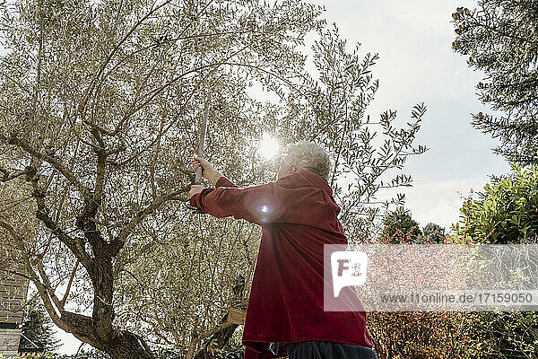 Senior man picking olives from tree on sunny day in back yard