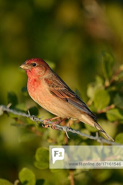 Common Rosefinch ( Carpodacus erythrinus )  male  in breeding dress  perched at the wayside on barb wire  wildlife  Europe..