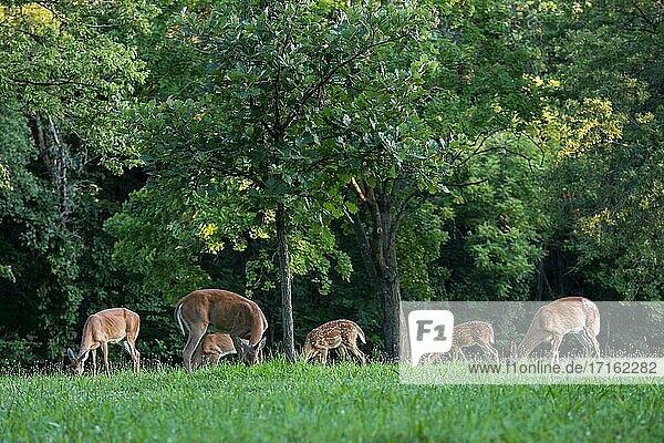 Kansas City  Kansas. White-tailed deer  Odocoileus virginianus. A herd of White-tailed deer grazing in Wyandotte County Lake Park.