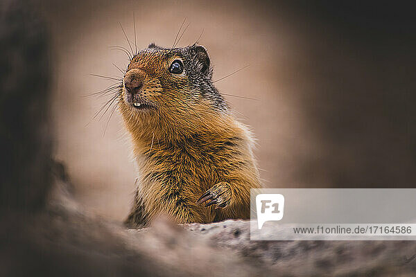 Ground Squirrel at Bugaboo Provincial Park  Alberta  Canada