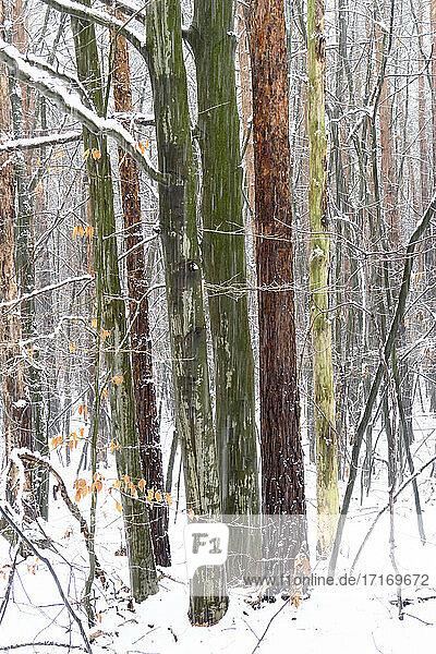Waldbäume im Winter