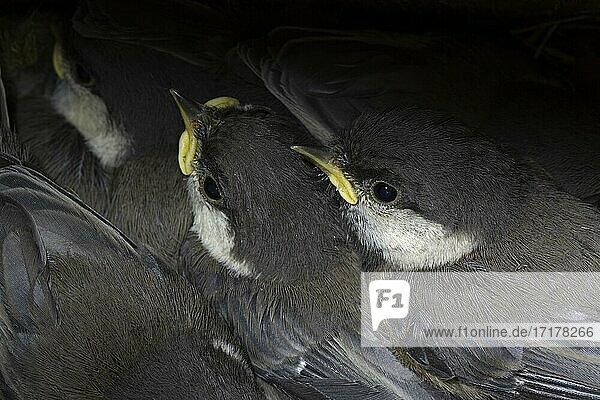 Lapplandmeise (Poecile cinctus) Porträt Jungvögel im Nistkasten (Rückgang der Tierart durch Klimaerwärmung)  Lappland  Finnland  Europa