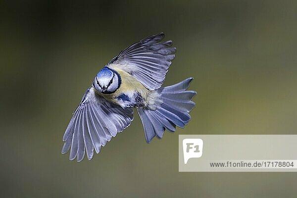 Blaumeise (Parus caeruleus)  Blaumeise im Flug  Nordrhein-Westfalen  Deutschland  Europa